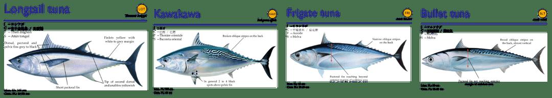 neritik-tuna